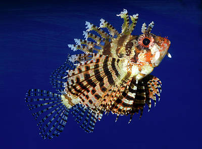 Fuzzy Dwarf Lionfish Or Shortfin Lionfish Poster by Nigel Downer