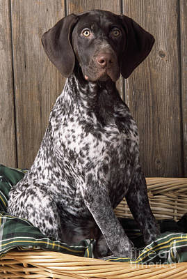 German Short-haired Pointer Dog Poster by John Daniels