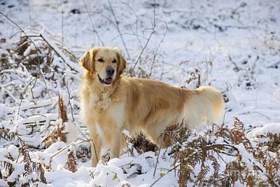 Golden Retriever In Snow Poster by John Daniels