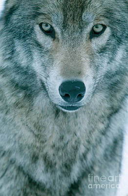 Gray Wolf Poster by Jeffrey Lepore