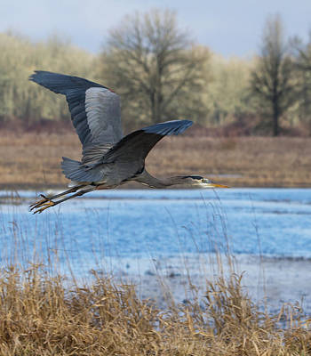 Great Blue Heron In Flight Poster by Angie Vogel