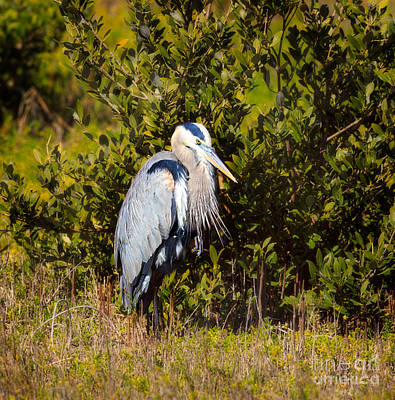 Great Blue Heron Poster by Louise Heusinkveld