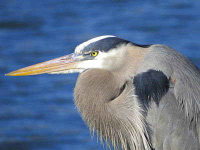 Great Blue Heron Profile Poster by Phyllis Beiser