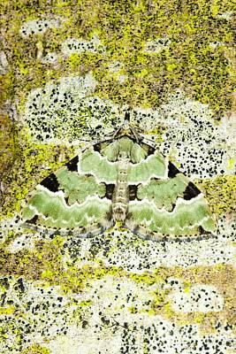 Green Carpet Moth Poster by Dr. Keith Wheeler