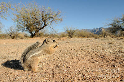 Harris Antelope Squirrel Poster by Scott Linstead