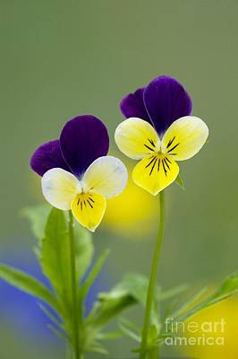 Heartsease Viola Tricolor Poster by Bob Gibbons
