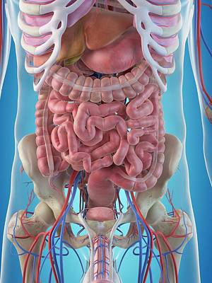 Human Internal Organs Poster by Sciepro