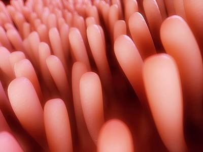 Human Intestinal Lining Poster by Sebastian Kaulitzki
