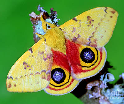 Io Moth Poster by Millard H. Sharp