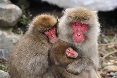 Japanese Macaque Mother With Young Poster by Thomas Marent