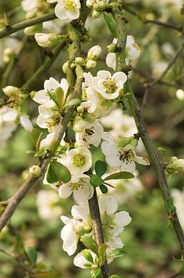 Japanese Quince (chaenomeles Speciosa) Poster by Adrian Thomas