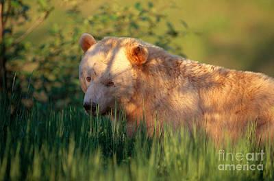 Kermode Bear Poster by Art Wolfe