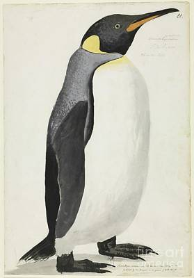 King Penguin, 18th Century Poster by Natural History Museum, London