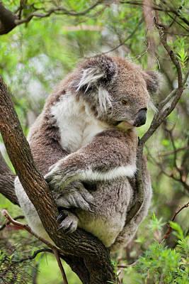 Koala (phascolarctos Cinereus Poster by Martin Zwick