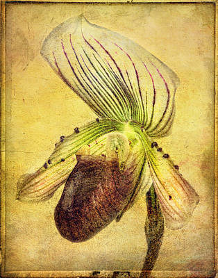 Lady Slipper Orchid Poster by Robert Jensen