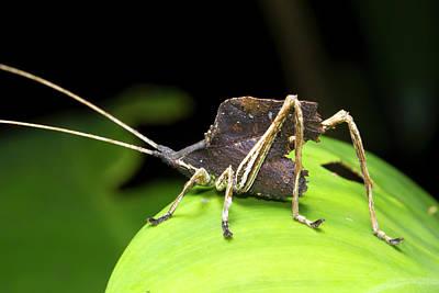 Leaf Mimic Bush-cricket Poster by Dr Morley Read