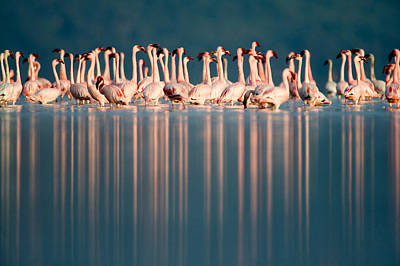 Lesser Flamingos Phoenicopterus Minor Poster by Panoramic Images