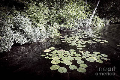 Lily Pads On Dark Water Poster by Elena Elisseeva