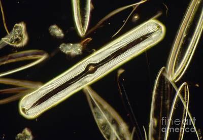 Lm Of The Diatom Pinnularia Nobilis Poster by Andrew Syred