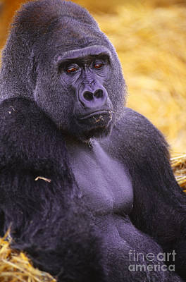 Lowland Gorilla Poster by Art Wolfe