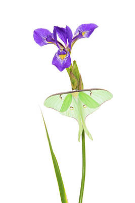 Luna Moth Actias Luna Perching On Blue Poster by Panoramic Images