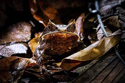Malayan Horned Frog Camouflaged Poster by Paul Williams