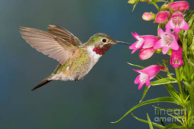 Male Broad-tailed Hummingbird Poster by Anthony Mercieca