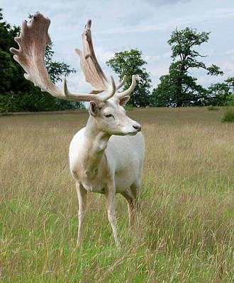 Male White Fallow Deer Poster by Nigel Downer