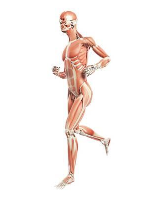 Muscular System Of Runner Poster by Sebastian Kaulitzki