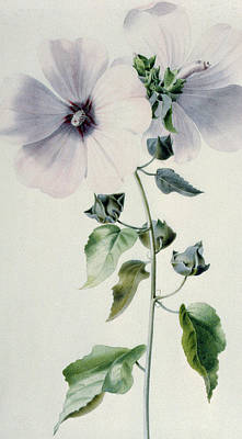 Musk Mallow Poster by Marie-Anne