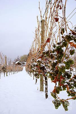 Okanagan Valley Vineyards In Winter Poster by Kevin Miller
