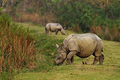 One-horned Rhinoceros Feeding Poster by Jagdeep Rajput