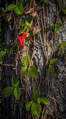 Tree Bark Poster featuring the photograph One Red Leaf by Marvin Spates