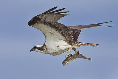 Osprey With Fish  Poster by Regina  Williams