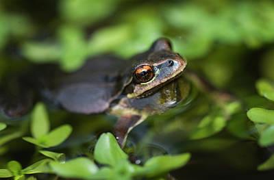 Pacific Tree Frog  Pseudacris Regilla Poster by Robert L. Potts