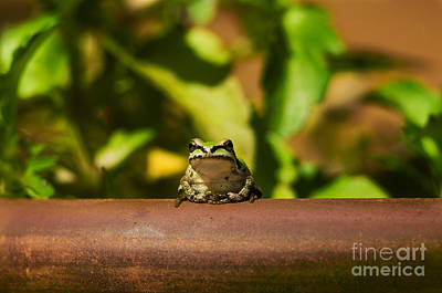 Pacific Treefrog Poster by Ron Sanford
