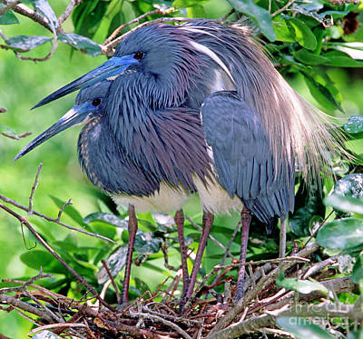 Pair Of Tricolored Heron At Nest Poster by Millard H Sharp
