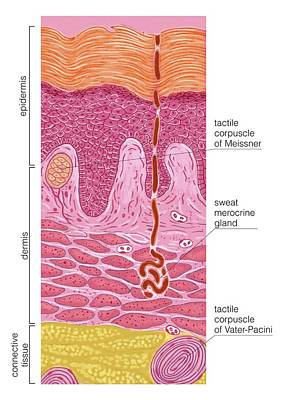 Palmar And Plantar Skin Poster by Asklepios Medical Atlas