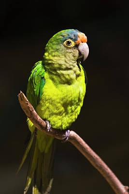 Parrot, Honduras Poster by Keren Su