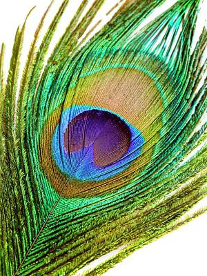 Peacock Feather Poster by Science Photo Library