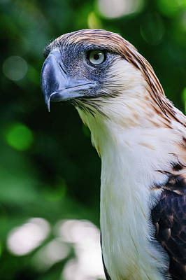 Philippine Eagle (pithecophaga Jefferyi Poster by Michael Runkel