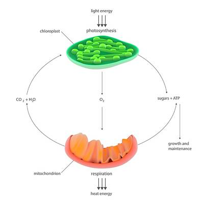 Photosynthesis And Respiration Poster by Science Photo Library