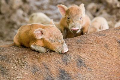 Pigs Reared For Pork On Tuvalu Poster by Ashley Cooper