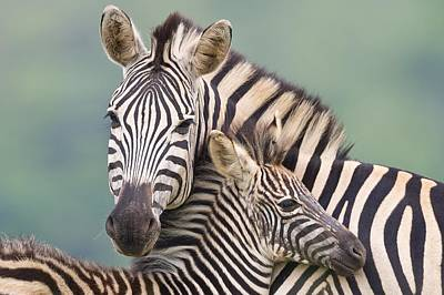 Plains Zebra And Foal Poster by Science Photo Library
