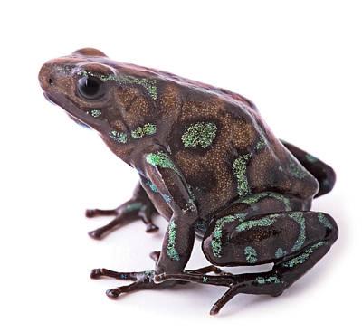 poison arrow frog Panama Poster by Dirk Ercken