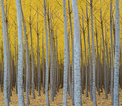 Poplar Plantation In Autumn Poster by Panoramic Images