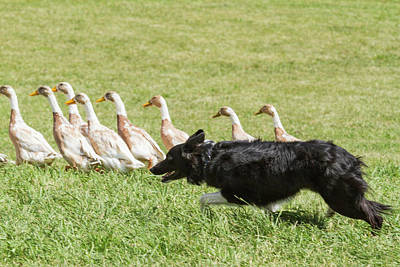 Purebred Border Collie Herding Ducks Poster by Piperanne Worcester