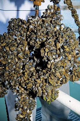 Quagga Mussels Poster by Us Bureau Of Reclamation/andy Pernick