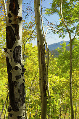 Quaking Aspen In Full Color Showing Poster by Maresa Pryor