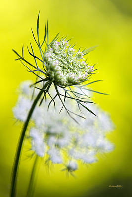 Queen Anne's Lace Flower Poster by Christina Rollo